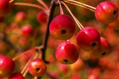 die Frucht eines Blumenapfel-Bl?tenbaums lizenzfreie stockfotos