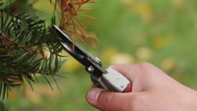Die Gärtner ` s Hand schneidet den unnötigen Zweig der Eibe mit einem secateur, Abschluss oben stock video