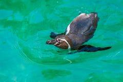 Die GalÃ-¡ pagos Pinguine können schnell schwimmen beschleunigen lizenzfreie stockbilder