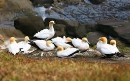 Die gannets im Otakamiro Punkt migrieren zu Australi Stockbild