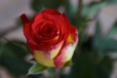 Die ganze Schönheit einer Rose - Nahaufnahme stockfoto
