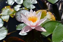 Die geöffnete Blume einer Seerose in einem Teich stockbild