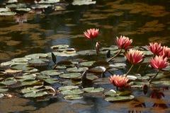 Die geöffneten Lilien auf Wasser Lizenzfreie Stockfotos