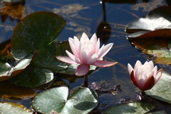 Die geöffneten Lilien auf Wasser Lizenzfreie Stockbilder