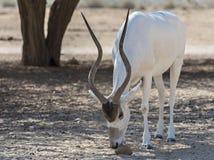 Die gebogene gehörnte Antilope Wüstenkuh (Wüstenkuh nasomaculatus) Stockfoto