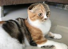 Die gefaltete Katze des Kätzchens Scottish Lizenzfreie Stockfotos
