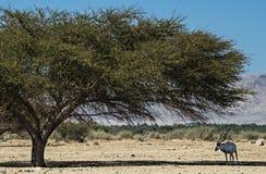 Die gehörnte Wüstenkuh des Krummsäbels Stockfotos