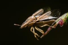 Die Gehrungsfuge des Bischofs (Aelia-acuminata) Momente vor entfernen sich Lizenzfreie Stockfotografie