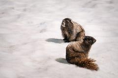 die Gelb-aufgeblähten Murmeltiere, die von ihrem Bau im Schnee auftauchen, bringen Rainier National Park an Stockbild