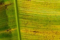 Die gelbe Banane verlässt gelbe Bananenblätter Lizenzfreie Stockfotos