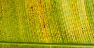 Die gelbe Banane verlässt gelbe Bananenblätter Stockbilder