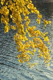 Die gelbe Birke Stockbilder