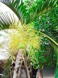 Die gelbe Blume der Palme Stockfotos