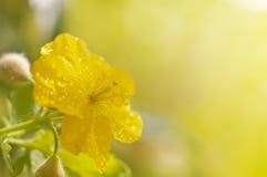 Die gelbe Blume des größeren Celandine, die durch Wasser bedeckt wird, fällt gegen unscharfen Hintergrund Stockbilder