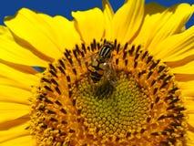 Die gelbe Fliege auf einer Sonnenblume Lizenzfreie Stockbilder