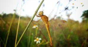 Die gelbe Libelle steht auf der Anlage still lizenzfreie stockfotos