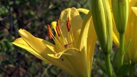 Die gelbe Lilie blühte Gelbe, empfindliche Blume mit einem scharfen Geruch stock footage