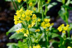 Die gelben Blumen des Samens im Hausgarten lizenzfreies stockfoto