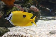Die gelben Fische schauen zum linken sidde stockbild