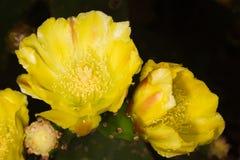 Die Gelbkaktusblumen Stockfoto