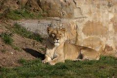 Die geretteten rumänischen Löwen Lizenzfreies Stockbild