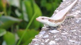 Die Gesamtlänge von Eutropis-multifasciata Eidechse, allgemein bekannt als das ostindische braune mabuya stock video footage