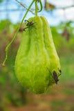 Die Gestankwanzen auf grünem Chayote Lizenzfreie Stockfotografie