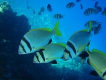 Die gestreiften Fische sind in einem Meer Stockbilder