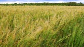 Die Getreideernten schwingen von Seite zu Seite in der Eile einer frischen Brise, hellgrünes Spiel unter der Sonne stock footage