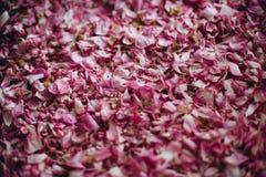 Die getrockneten Blumenblätter einer Teerose stockfoto
