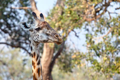 Die Giraffe Stockfotografie