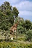 Die Giraffe Lizenzfreie Stockfotografie