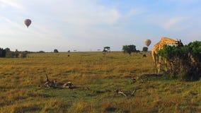Die Giraffe, die Baum isst, verlässt in der Savanne bei Afrika stock footage