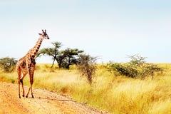 Die Giraffe kreuzt die Straße in der afrikanischen Savanne Safari Animals Stockfotografie