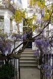 Die Glyzinie- und Goldregenbäume in voller Blüte, die außerhalb eines Weiß wachsen, malten Haus in Kensington London