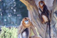 Die goldene Affefamilie Stockbild