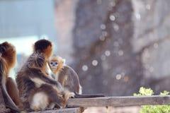 Die goldene Affefamilie Stockfotografie