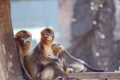 Die goldene Affefamilie Stockfotos