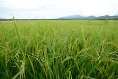 Die goldenen Reisfelder Lizenzfreie Stockbilder