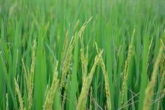 Die goldenen Reisfelder Lizenzfreie Stockfotografie