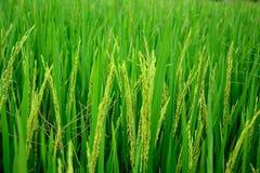 Die goldenen Reisfelder Lizenzfreies Stockbild