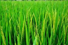 Die goldenen Reisfelder Stockbild