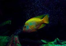 Die Goldfische, Kunstfoto für alle stockbilder
