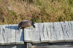 Die Gopher-Schildkröte springt über die hölzerne Planke zur Ostseite der Insel in Richtung zu seinem Tunnel stockfoto
