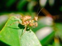 Die Gottesanbeterin auf den grünen Blättern lizenzfreie stockfotos