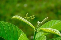 Die Gottesanbeterin auf Guave Lizenzfreies Stockfoto