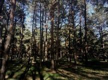 Die Größe des russischen Waldes Stockfotos