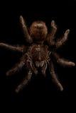 Die größte Spinne lizenzfreies stockbild