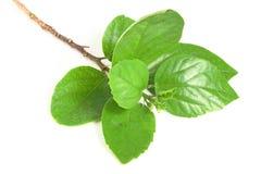 Die Grünblätter Stockfoto