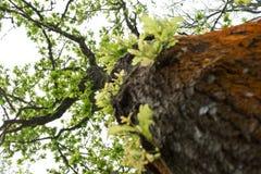 Die grüne Eiche Stockfoto